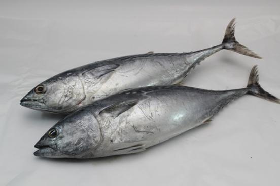 Frozen Tongkol Putih White Tuna Mackerel 500 800gm Pc Sold Per Kg Horeca Suppliers Supplybunny